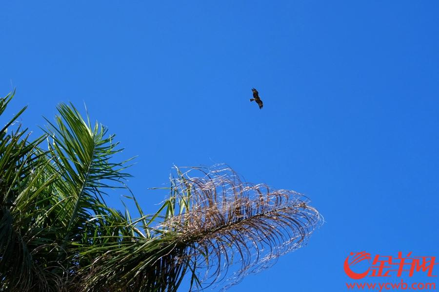 昨日,记者就用相机捕捉到麻鹰抓鱼的精彩场面。