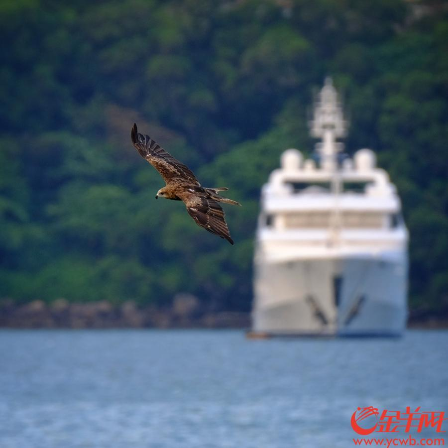 香港是全球麻鹰出没密度最高的地方,冬季时最多,约有一千八百至二千只,不少是迁徙来港过冬的。