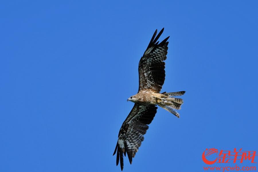 麻鹰又叫黑鸢,学名(Milvus migrans),是鹰的一种,身型中等。体长五十八到六十九厘米,猛禽,深啡色,尾浅叉。虹膜啡,嘴灰,蜡膜黄,脚黄。