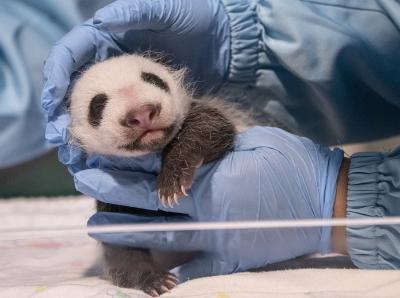 """大熊猫""""隆仔""""刚满月,""""婷妈""""又得子"""