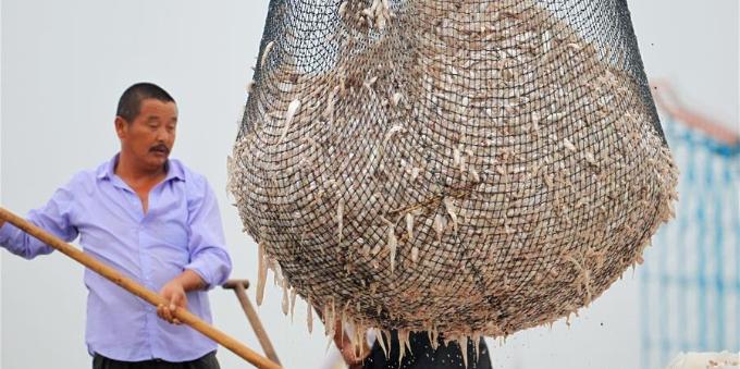 洪泽湖毛刀鱼迎来丰收季