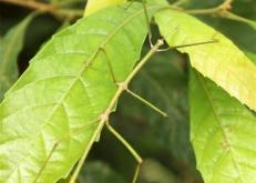 中国科学家首次野外放归世界最长昆虫幼体