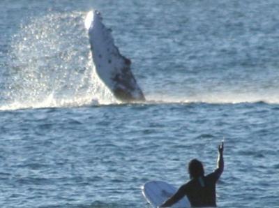 澳大利亚鲸鱼跃出海面与游人互动 似挥手问候