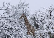 南非山区下雪了!长颈鹿大象雪中漫步如童话幻境