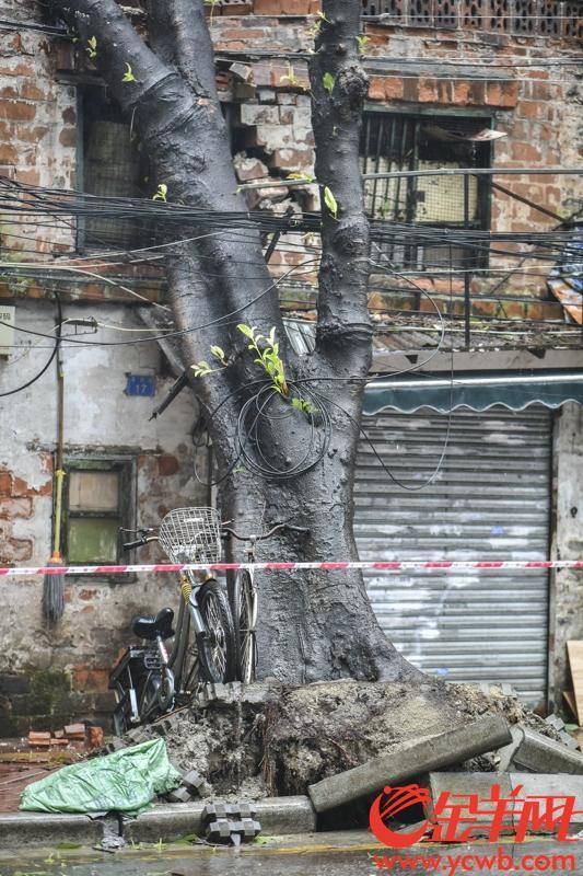 2018年9月16日下午三时许,受台风山竹影响,广州市海珠区南华东路和草芳围交界处多棵大树被连根拔起,影响交通。另有招牌被吹变形。记者 宋金峪 摄