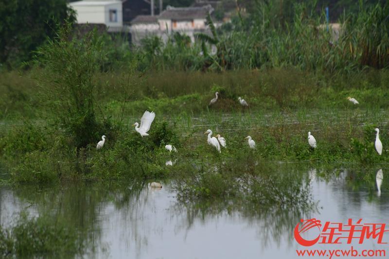 昨天(16号)下午,源和村有几个村民在村道、榕树下抓鱼,因台风整条村似乎都在水里,成了名符其实的水村……台山大江,公益这两条镇从空中往下看,许多村都跟源和村一样泡在水里。引来许多鹭鸟…… 记者 邓勃 摄