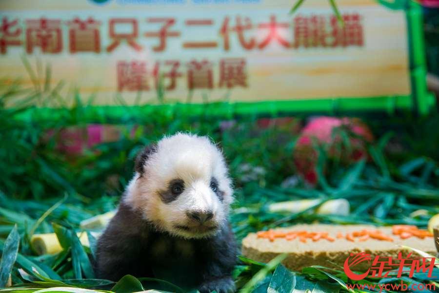 """2018年9月20日,首只华南子二代熊猫""""隆仔""""迎来首展,在长隆野生动物世界与游客一起迎中秋、贺国庆。金羊网记者 宋金峪 摄"""