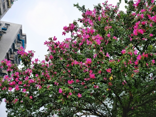 中秋到,广州城中美丽异木棉灿烂开