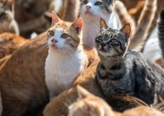 猫多为患!日本著名猫岛对所有猫咪实施绝育