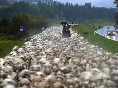 """""""绵羊大军""""行进万米回农场过冬 公路车辆被羊群吞没"""