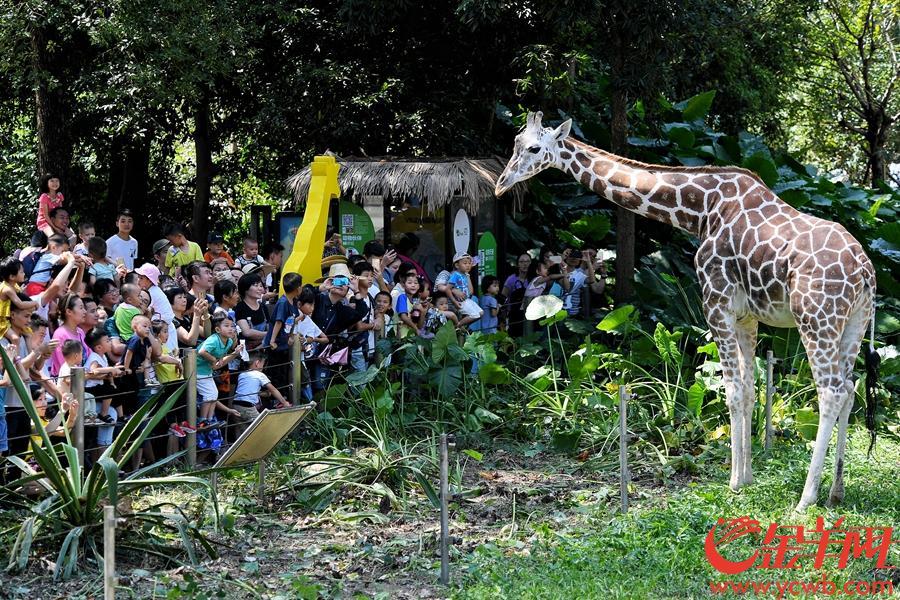 2018年10月3日,国庆长假第三天,广州动物园迎来客流高峰,家庭亲子游