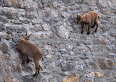 挑战地心引力!意大利山羊爬上高度陡峭大坝舔食矿物质