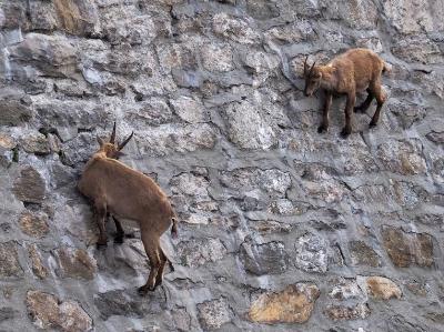 挑戰地心引力!義大利山羊爬上高度陡峭大壩舔食礦物質