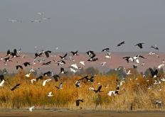 黑河濕地遷徙候鳥舞翩遷蔚為壯觀