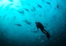 """实拍土耳其渔场 饲养员潜水深入金枪鱼""""风暴"""""""