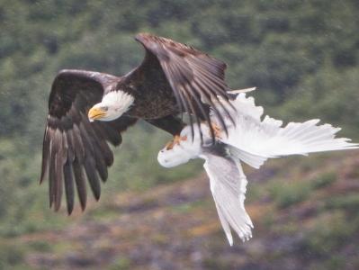 美国海鸥勇战秃鹫 欲解救被抓小伙伴