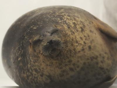 胖成球!日本海豹体态肥圆活脱脱一个芝麻团子