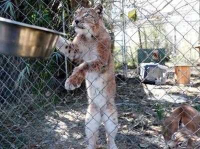 """飓风""""迈克尔""""摧毁美国动物保护中心 """"大猫""""们险出逃"""