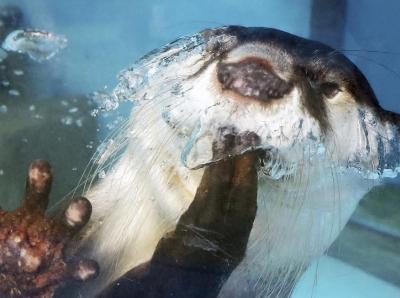 日本海洋乐园小水獭捂嘴卖萌可爱到爆
