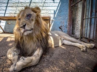 """走进阿尔巴尼亚""""地狱动物园"""" 狮王迟暮境遇凄惨"""