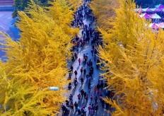 沈阳高校举办银杏节 树叶色彩斑斓犹如童话世界