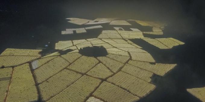 夜间催花补光新技术点亮广西千亩火龙果基地