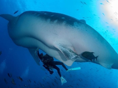 """科学家水下与鲸鲨共舞 贴身""""体检""""提取研究样本"""