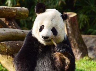 """海歸老齡大熊貓""""高高""""結束隔離檢疫與媒體見面"""