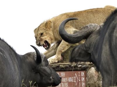 肯尼亚雄狮遭水牛围攻 四面楚歌险些沦为猎物