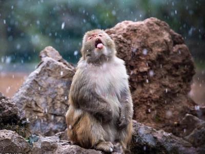 南京迎降雪天气 动物园猕猴迎风戏雪
