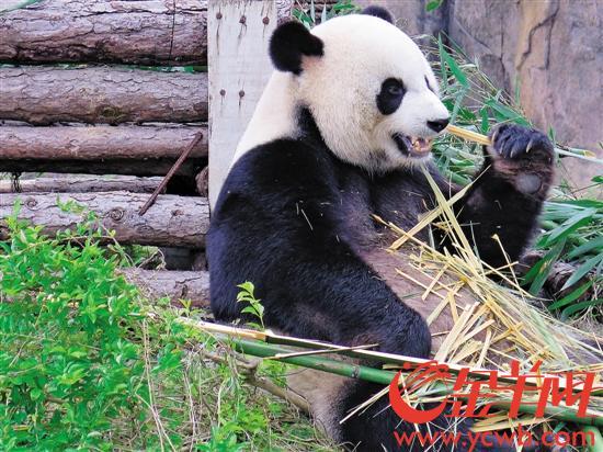 12月10日,记者从东莞香市动物园获悉,热带动物大象,长颈鹿,袋鼠等已早
