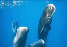 攝影師拍到抹香鯨組團睡覺 垂直矗立似柱子