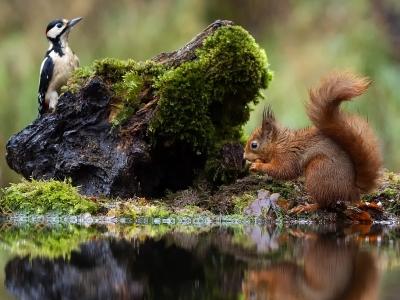 """英国""""花痴""""红松鼠迷上水中倒影 怎么看都看不够"""