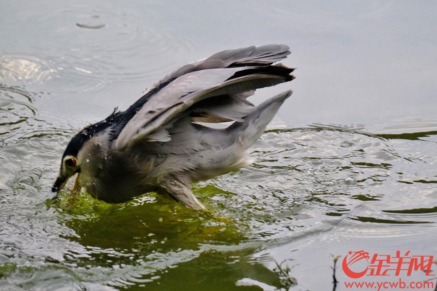 """15日,广州气温略有回升,太阳露脸,广州流花湖公园的鹭鸟也趁着好天气,忙着抓鱼。近年来,广州生态环境越来越好,这些鹭鸟与街坊""""和平共处"""",就算距离3、4米,它们也""""鸟不惊"""",街坊们也经常能观赏到""""捕鱼""""精彩场面,一饱眼福。据了解,近日,广东省政府发布《关于进一步加强野生动物保护管理工作的通知》,要求从2019年1月1日起至2023年12月31日止,全省全面禁猎野生鸟类,全面加强野生动物野外种群保护,禁止猎捕国家和省重点保护野生动物。禁猎期满后,省政府将根据实际情况决定是否延长禁猎期限。金羊网 记者陈秋明摄影报道"""