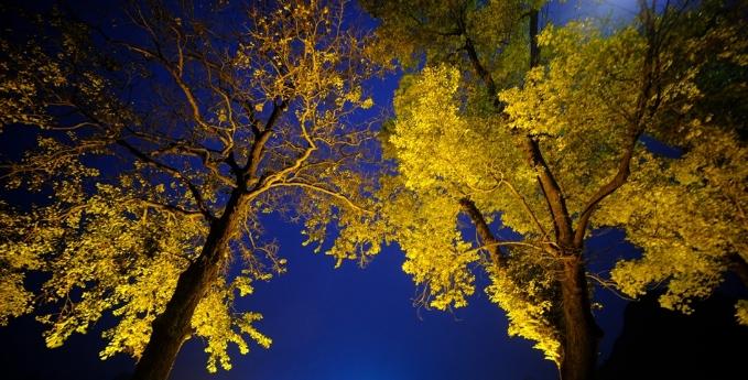 深冬时期,广西的银杏树