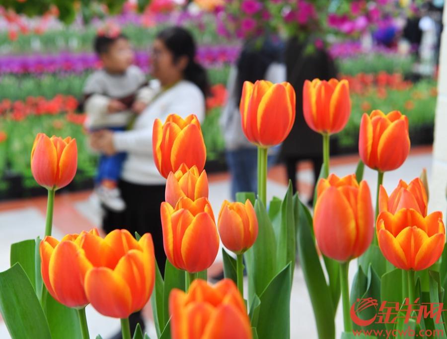 2018年12月23日至2019年3月30日,首届中国郁金香花博秀在百万葵园展出。此次展出的冷冬逆季开花的郁金香花展,可以说是全球最早开花的花展。 金羊网记者  汤铭明 摄