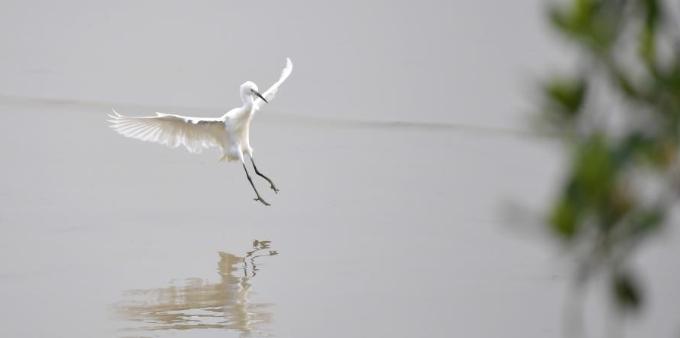候鸟飞抵深圳红树林栖息地越冬