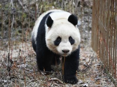 """野化放归大熊猫""""小核桃""""成功回捕 圈养大熊猫即将正式放归"""
