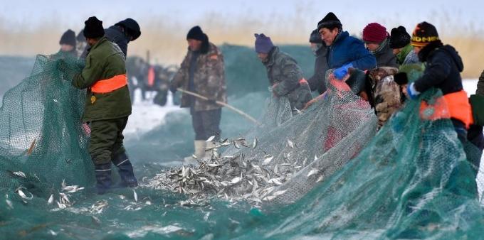 新疆乌伦古湖冬季冰上大拉网捕鱼启幕