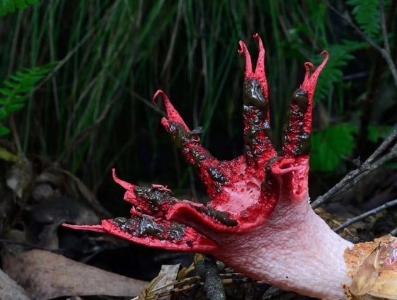 """贵州茂兰保护区现""""神秘生物"""" 通体腥红外形似人手"""