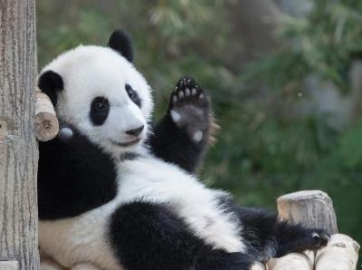 旅居马来西亚大熊猫宝宝庆祝1岁生日