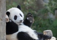 旅居馬來西亞大熊貓寶寶慶祝1歲生日