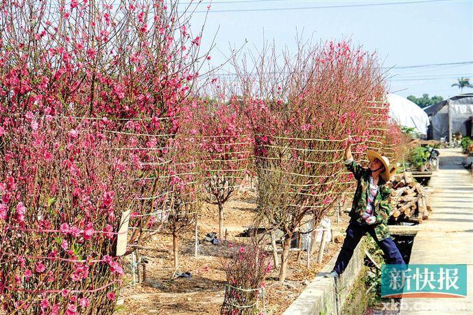 9号彩票广州今年天暖桃花早开 价格或上涨两三成