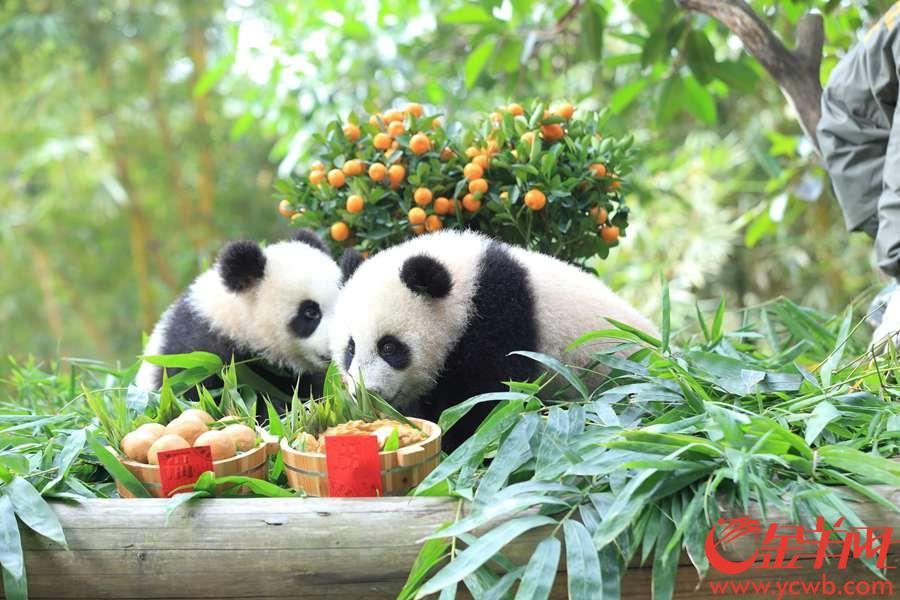 """1月29日正值臘月廿四,熱情的廣東人民這一天也特地趕來為華南首只熊貓子二代""""隆仔""""和""""婷仔""""送上廣州地道的新春祝福。兩只""""滾滾""""于去年7月12日和7月29日相繼出生,在保育員的24小時照顧下都茁壯成長。 據介紹,剛滿半周歲的""""隆仔""""和""""婷仔""""在迎接""""熊""""生第一個中國農歷新年的同時,也正在經歷""""熊""""生最神聖的換毛色、變身大人模樣的關鍵時刻。金羊網記者 宋金峪 攝"""