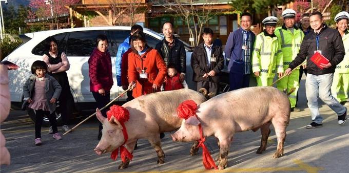 广东一景区给优秀员工奖年猪 员工赶猪回家
