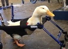 暖心!天生跛脚小鸭子获得微型轮椅学会走路