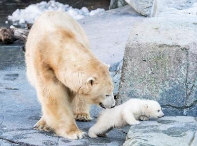 小北极熊首次亮相哥本哈根动物园 与妈妈形影不离