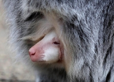 捷克动物园新生一白化小袋鼠 探个脑袋萌萌哒