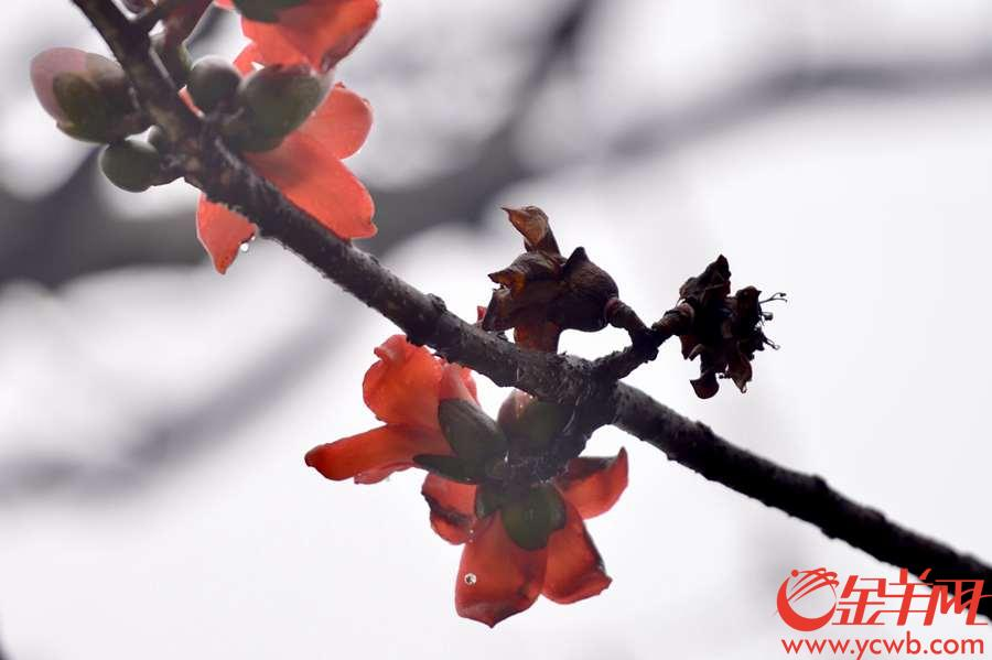 """2019年3月14日,廣州在短暫的兩日晴天之後,雨水又至。在中山紀念堂裏,包括擁有近350歲樹齡的""""木棉王""""在內的幾株木棉樹,經過風雨洗滌,仍有紅花開在枝頭。樹上鳥鳴雀舞,樹下落英堆積、行人賞景拾花,戀春惜春,再赴一場與木棉的約。(金羊網記者 梁喻 攝)"""