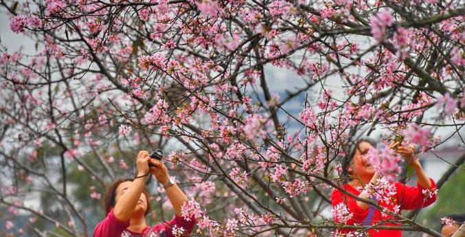 十八罗汉山上赏樱花